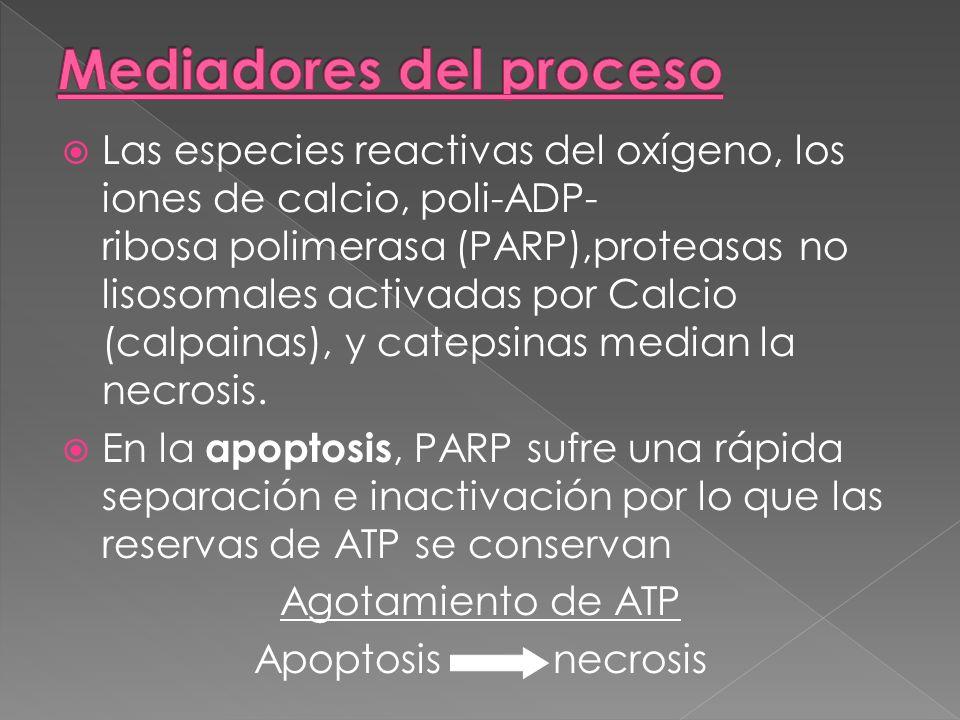 Las especies reactivas del oxígeno, los iones de calcio, poli-ADP- ribosa polimerasa (PARP),proteasas no lisosomales activadas por Calcio (calpainas),