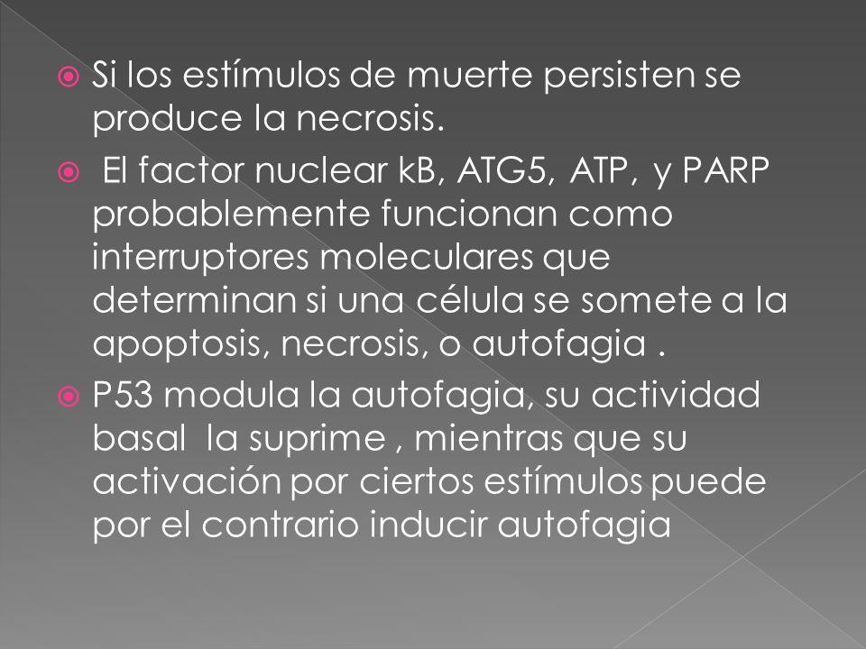Si los estímulos de muerte persisten se produce la necrosis. El factor nuclear kB, ATG5, ATP, y PARP probablemente funcionan como interruptores molecu
