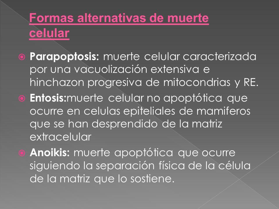Parapoptosis: muerte celular caracterizada por una vacuolización extensiva e hinchazon progresiva de mitocondrias y RE. Entosis: muerte celular no apo