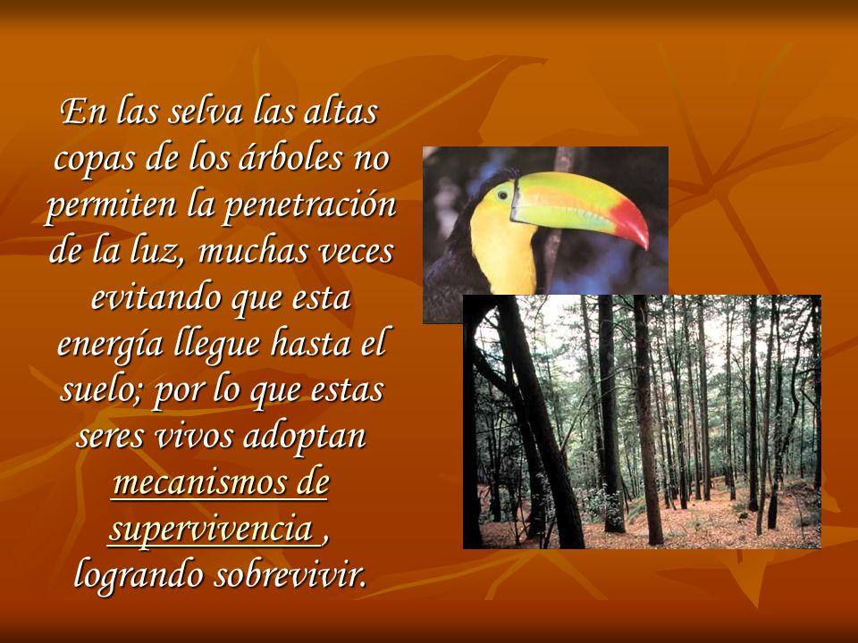En las selva las altas copas de los árboles no permiten la penetración de la luz, muchas veces evitando que esta energía llegue hasta el suelo; por lo que estas seres vivos adoptan mecanismos de supervivencia, logrando sobrevivir.