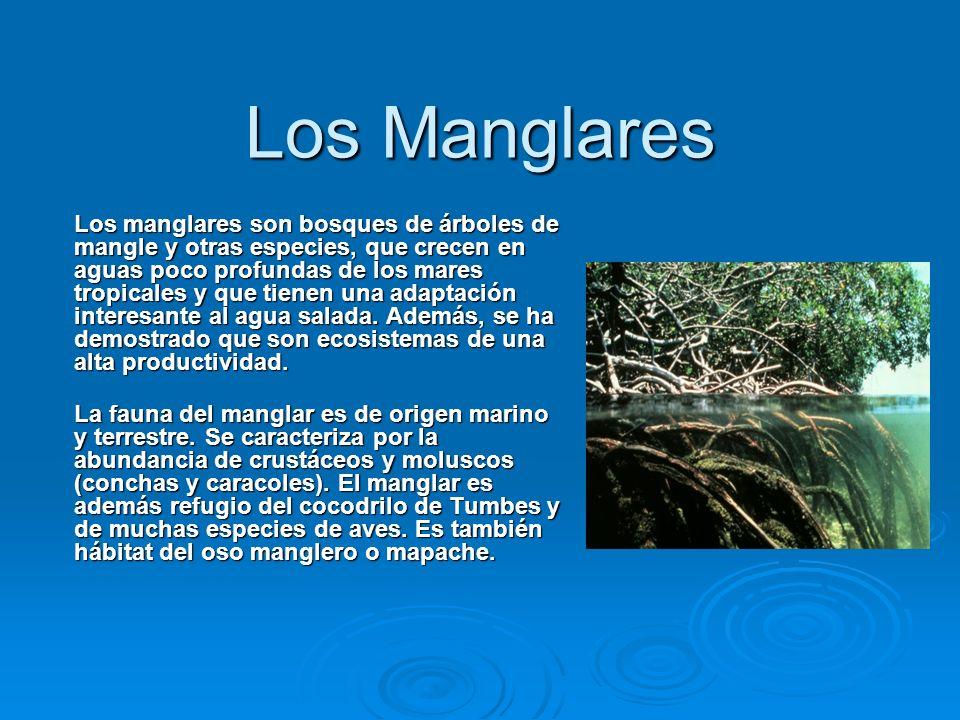 Los Manglares Los manglares son bosques de árboles de mangle y otras especies, que crecen en aguas poco profundas de los mares tropicales y que tienen
