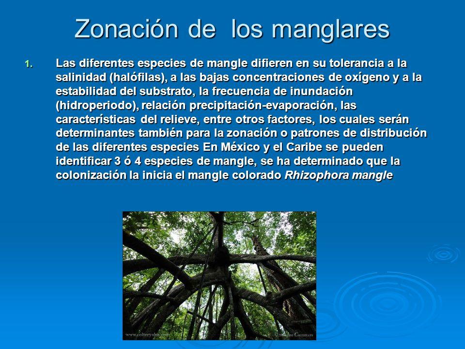 Zonación de los manglares 1. Las diferentes especies de mangle difieren en su tolerancia a la salinidad (halófilas), a las bajas concentraciones de ox