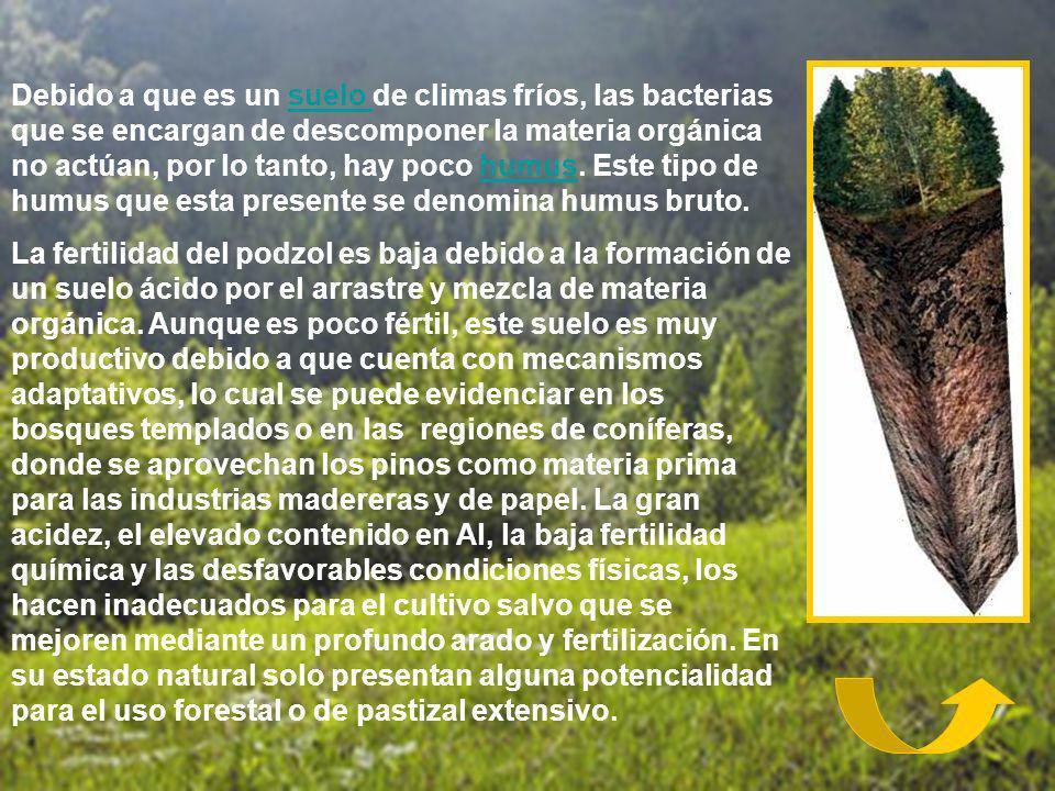 Debido a que es un suelo de climas fríos, las bacterias que se encargan de descomponer la materia orgánica no actúan, por lo tanto, hay poco humus. Es