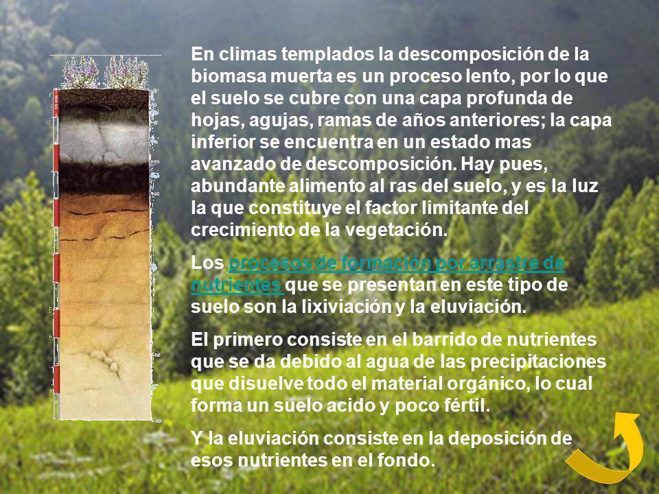 En climas templados la descomposición de la biomasa muerta es un proceso lento, por lo que el suelo se cubre con una capa profunda de hojas, agujas, r