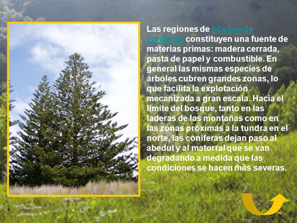 Las regiones de bosque de coníferas constituyen una fuente de materias primas: madera cerrada, pasta de papel y combustible. En general las mismas esp