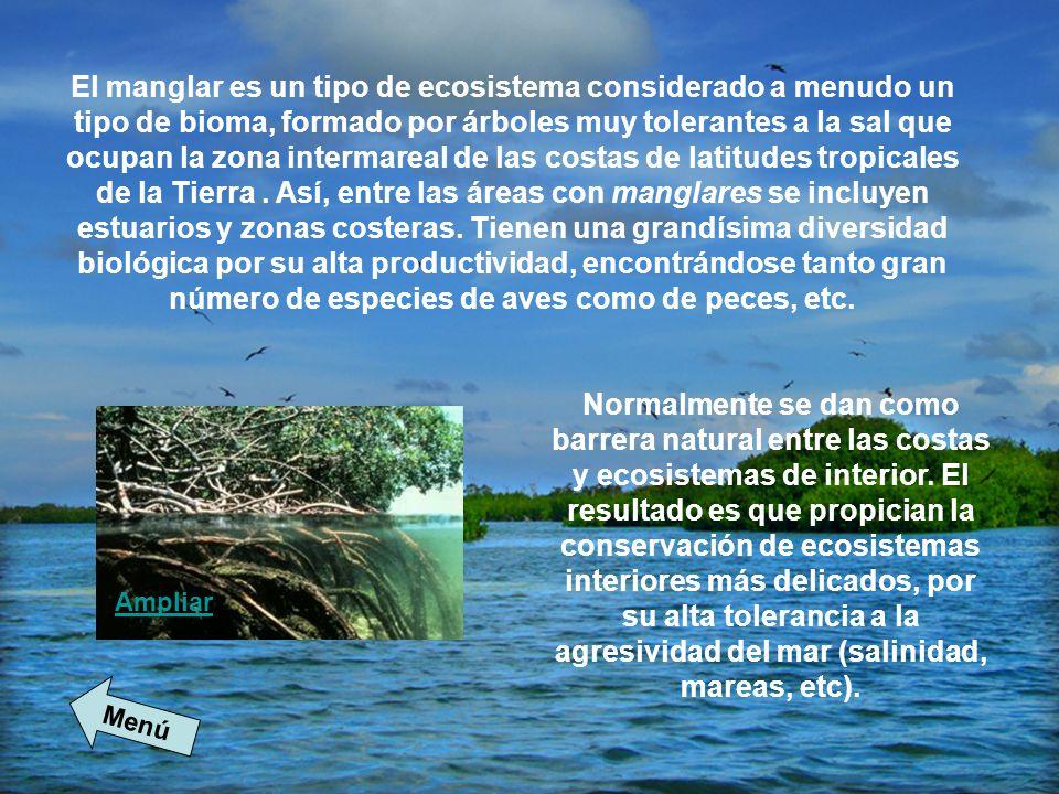 El manglar es un tipo de ecosistema considerado a menudo un tipo de bioma, formado por árboles muy tolerantes a la sal que ocupan la zona intermareal