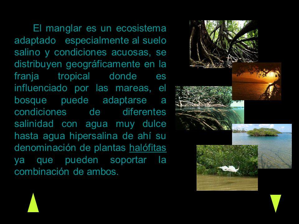 El manglar es un ecosistema adaptado especialmente al suelo salino y condiciones acuosas, se distribuyen geográficamente en la franja tropical donde e