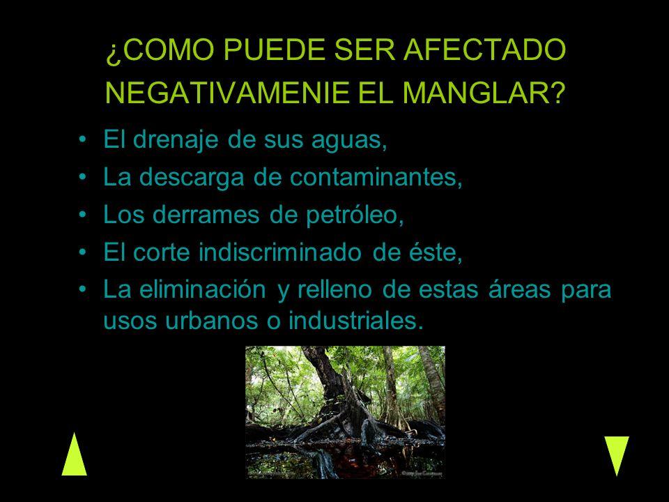 ¿COMO PUEDE SER AFECTADO NEGATIVAMENIE EL MANGLAR? El drenaje de sus aguas, La descarga de contaminantes, Los derrames de petróleo, El corte indiscrim