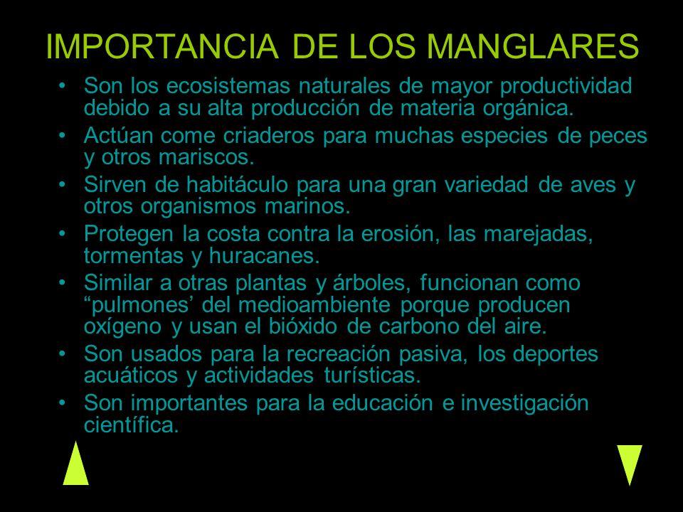 IMPORTANCIA DE LOS MANGLARES Son los ecosistemas naturales de mayor productividad debido a su alta producción de materia orgánica. Actúan come criader
