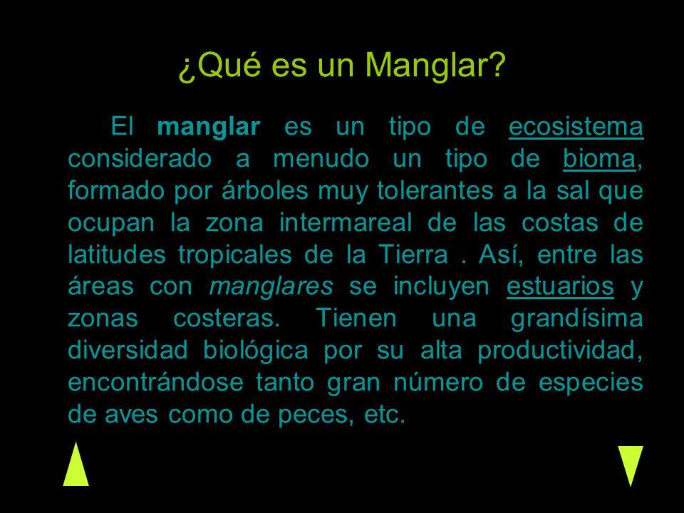 Tipos de Manglar La diversidad de especies de mangle es alta en muchas regiones del mundo, sin embargo solo existen cuatro especies: el mangle rojo (Rhizophora mangle), el mangle negro (Avisenía germinans), el mangle blanco (Laguncularia racemosa) y el mangle de botón (Canocarpus erectus).