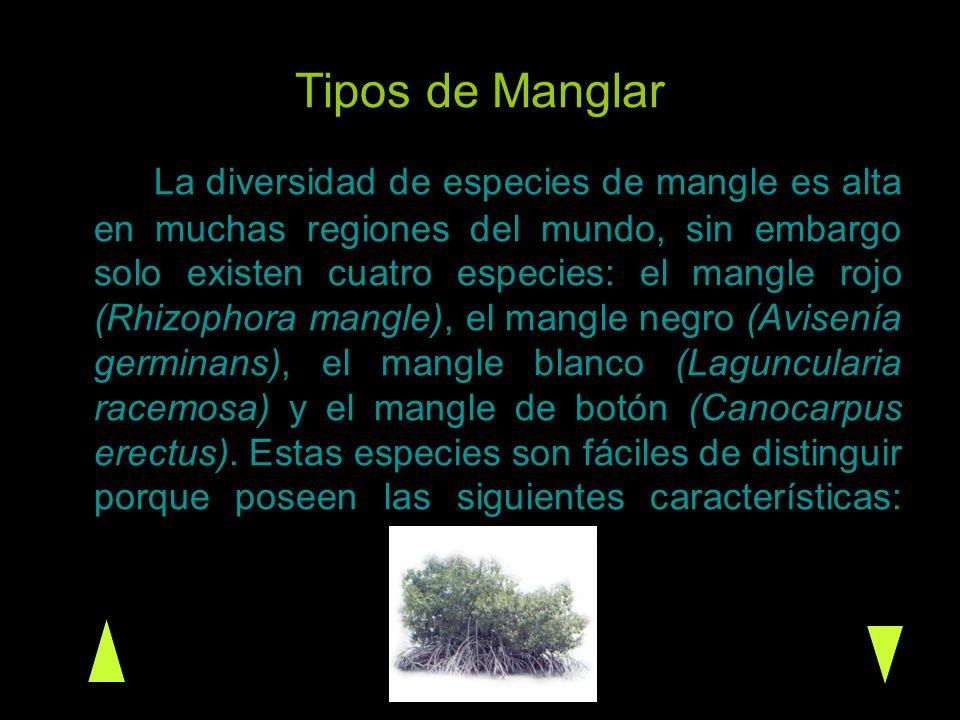 Tipos de Manglar La diversidad de especies de mangle es alta en muchas regiones del mundo, sin embargo solo existen cuatro especies: el mangle rojo (R