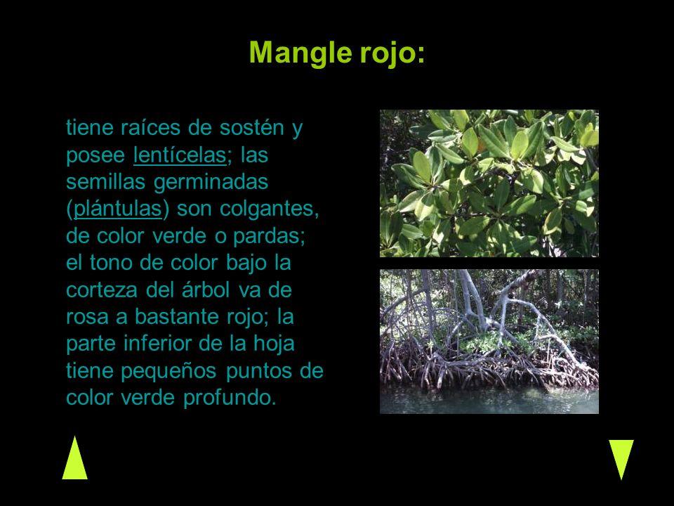 Mangle rojo: tiene raíces de sostén y posee lentícelas; las semillas germinadas (plántulas) son colgantes, de color verde o pardas; el tono de color b