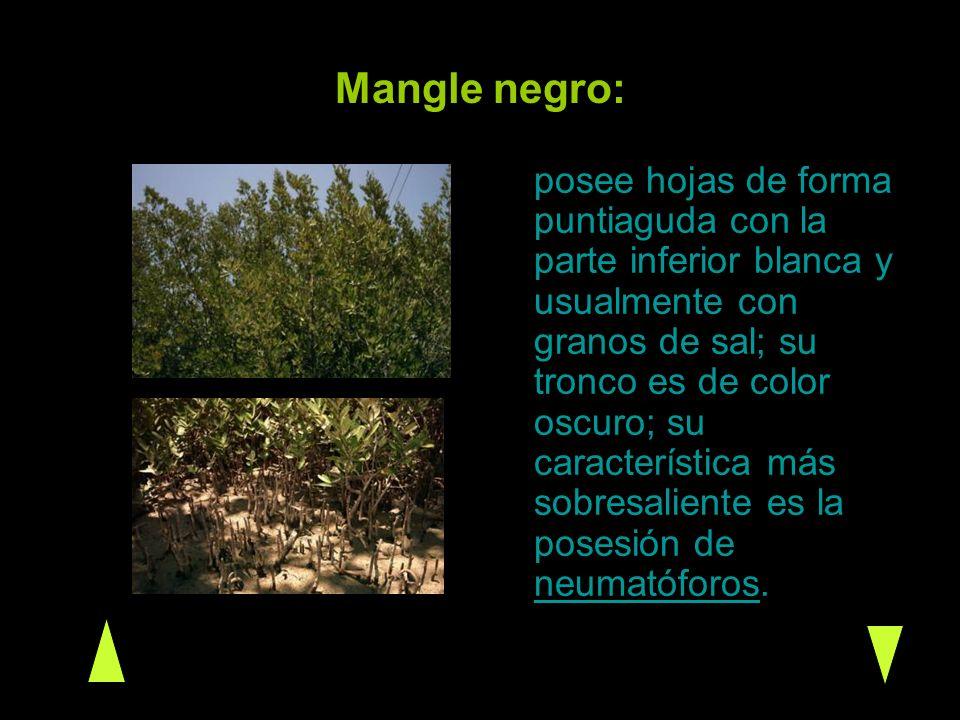 Mangle Blanco: se distingue porque tiene dos pequeñas glándulas anaranjadas o rojizas en la base de la hoja; sus hojas son ovaladas y posee neumatóforos pero son menos numerosos que en el mangle negro.