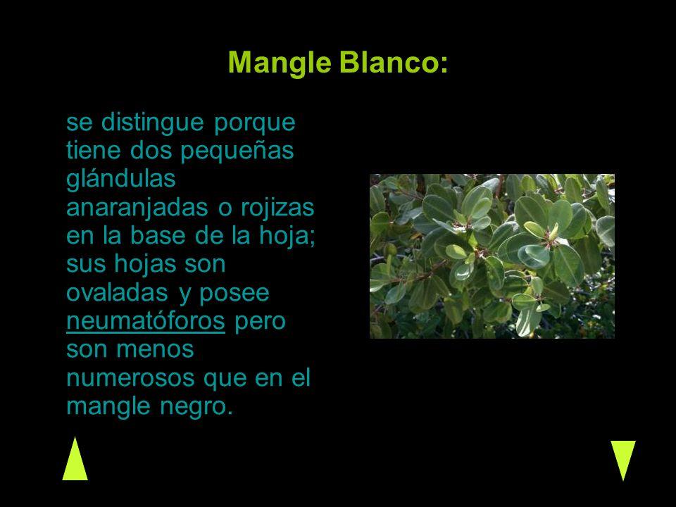 Mangle Blanco: se distingue porque tiene dos pequeñas glándulas anaranjadas o rojizas en la base de la hoja; sus hojas son ovaladas y posee neumatófor