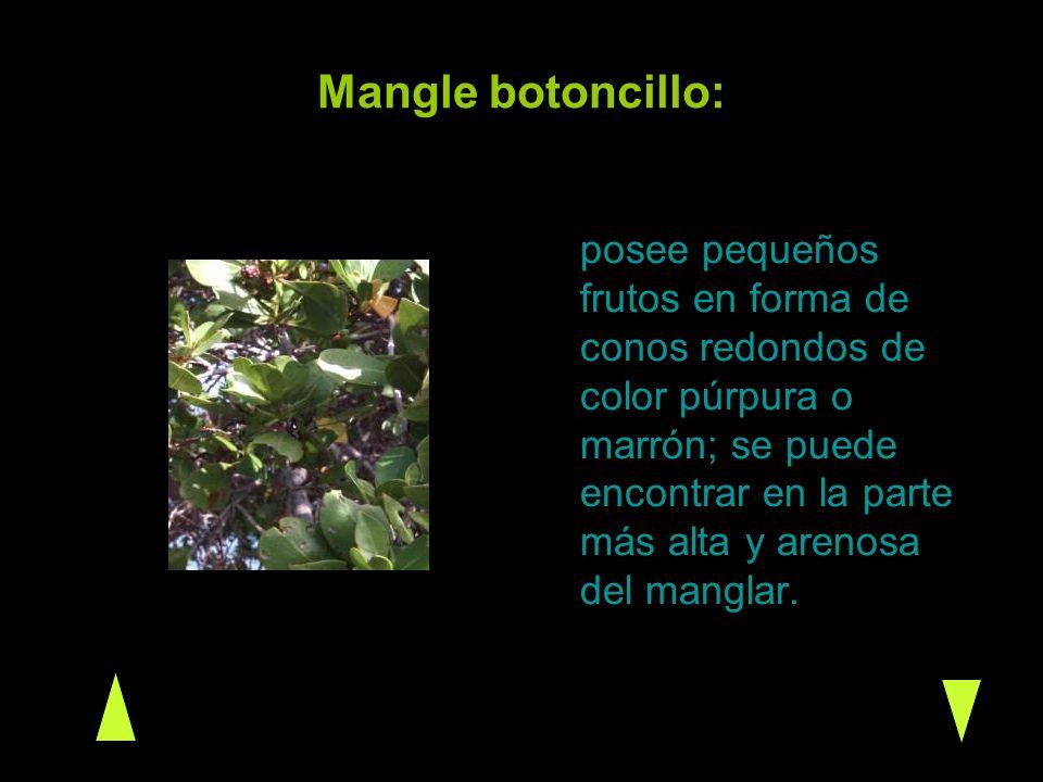Mangle botoncillo: posee pequeños frutos en forma de conos redondos de color púrpura o marrón; se puede encontrar en la parte más alta y arenosa del m