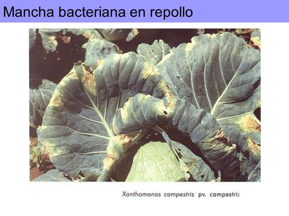 Mancha bacteriana en repollo