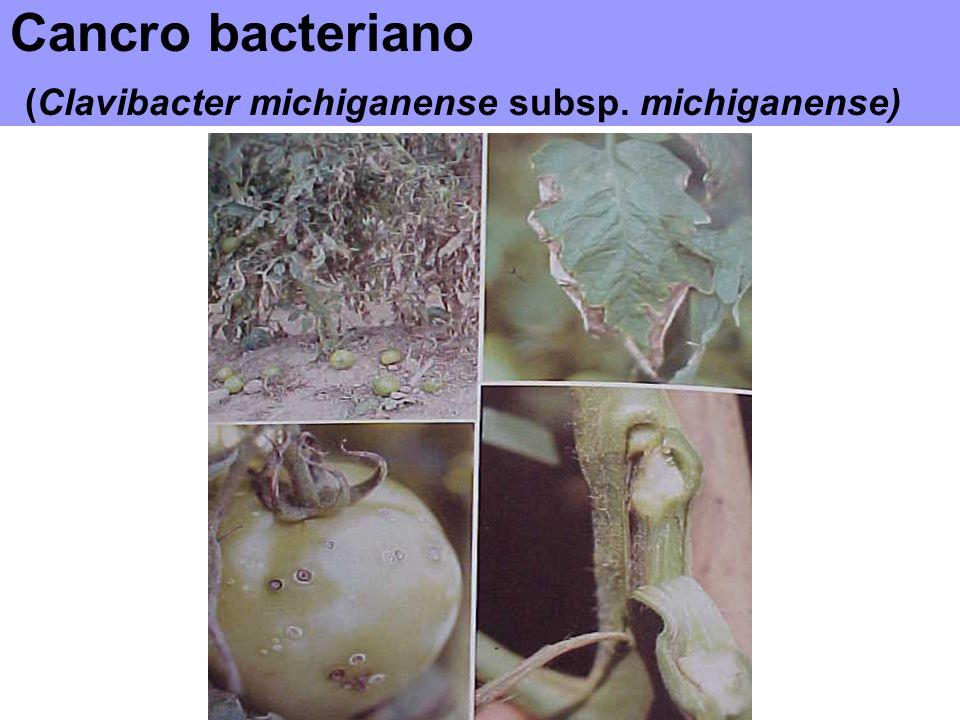 Cancro bacteriano (Clavibacter michiganense subsp. michiganense)