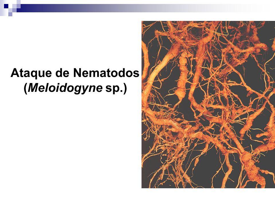 Ataque de Nematodos (Meloidogyne sp.)