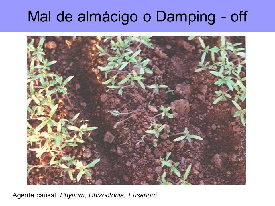 Mal de almácigo o Damping - off Agente causal: Phytium, Rhizoctonia, Fusarium