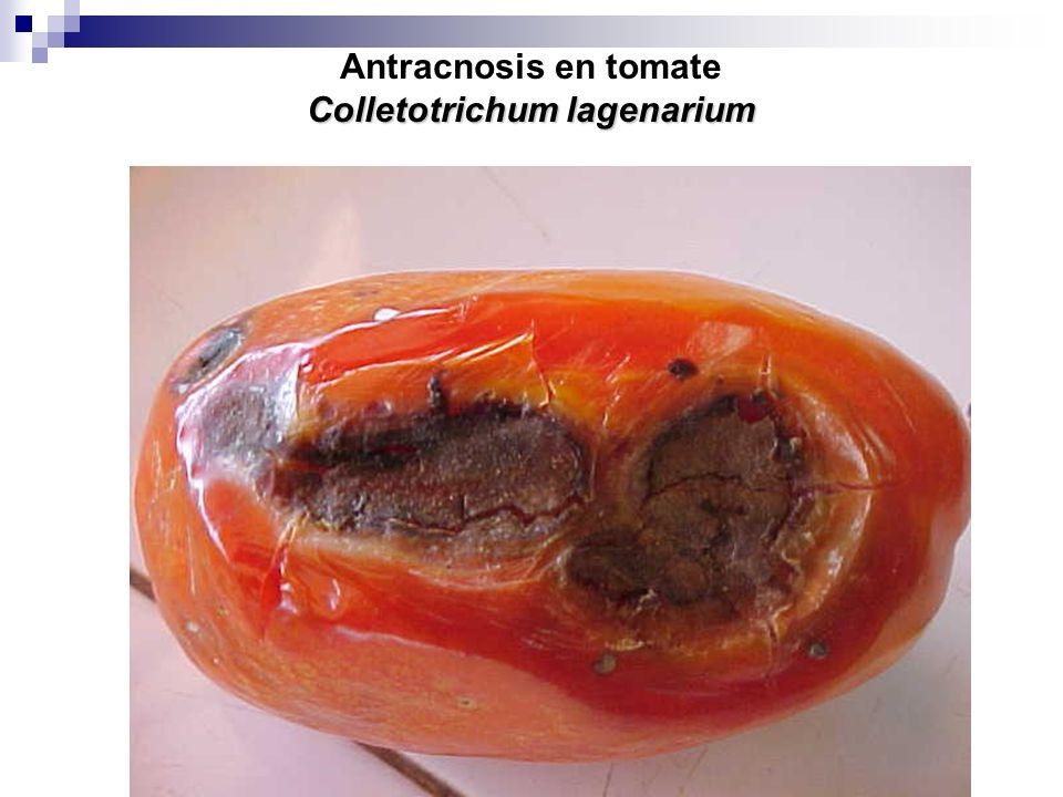 Antracnosis en tomate Colletotrichum lagenarium
