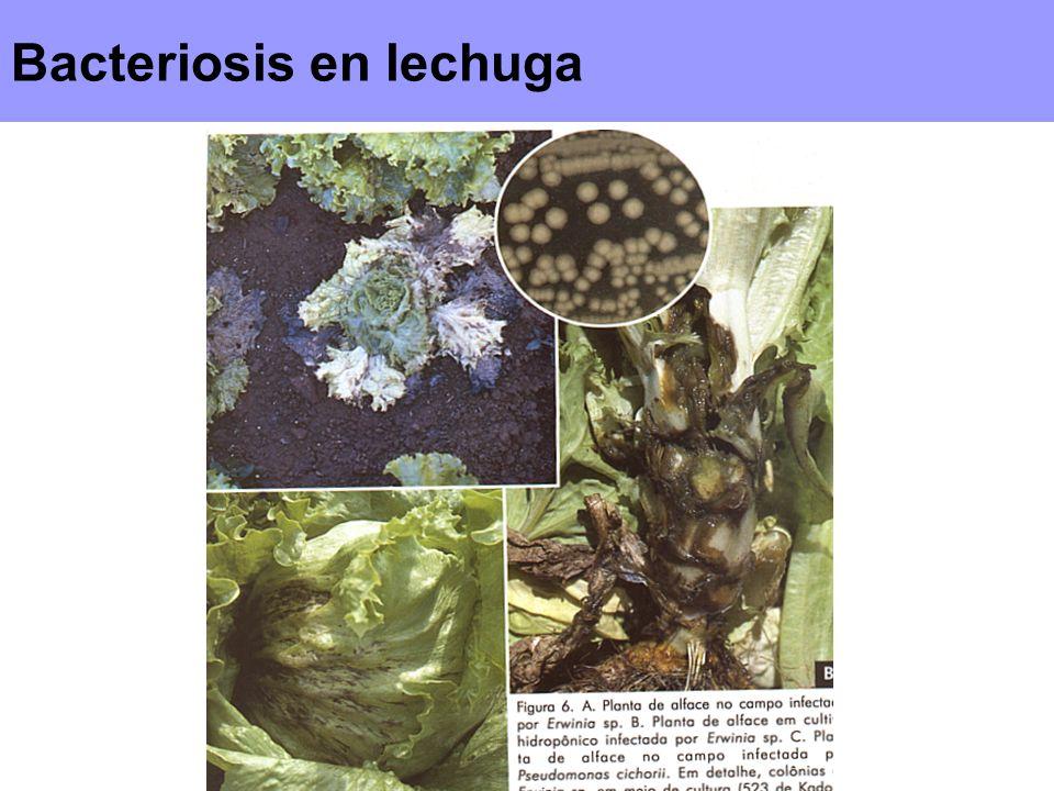 Bacteriosis en lechuga