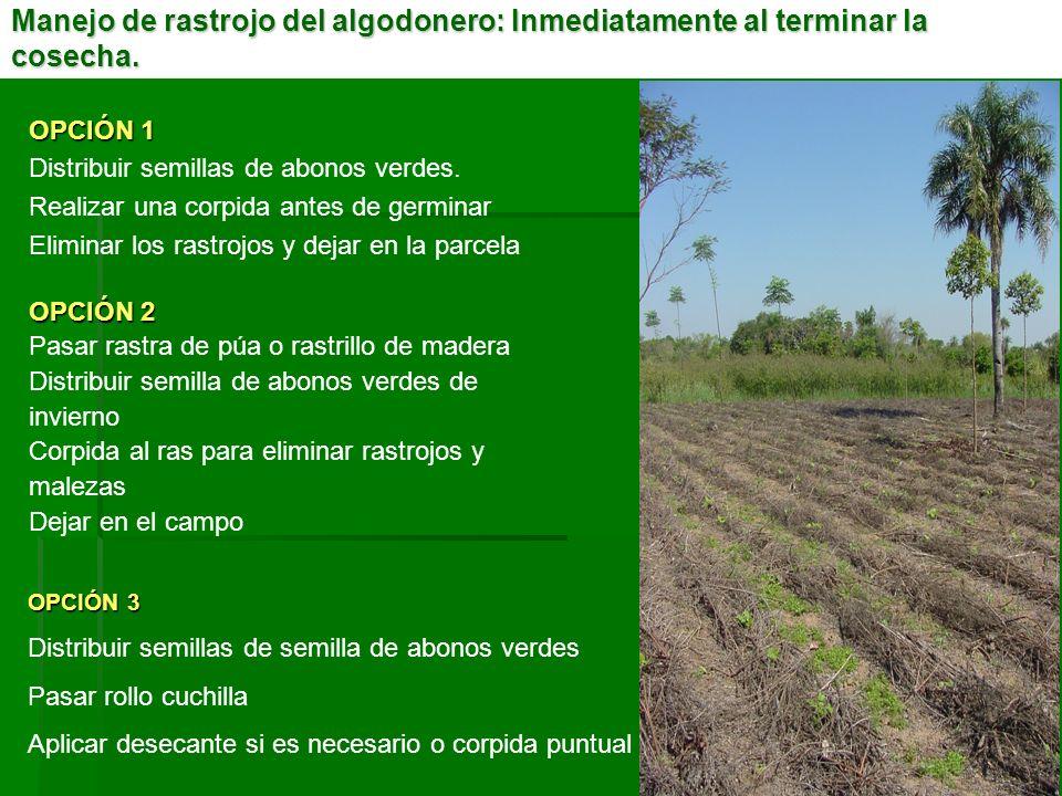 OPCIÓN 3 Distribuir semillas de semilla de abonos verdes Pasar rollo cuchilla Aplicar desecante si es necesario o corpida puntual Manejo de rastrojo d