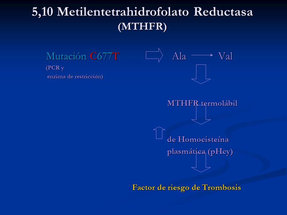 5,10 Metilentetrahidrofolato Reductasa (MTHFR) Mutación C677T AlaVal (PCR y (PCR y enzima de restricción) enzima de restricción) MTHFR termolábil MTHF
