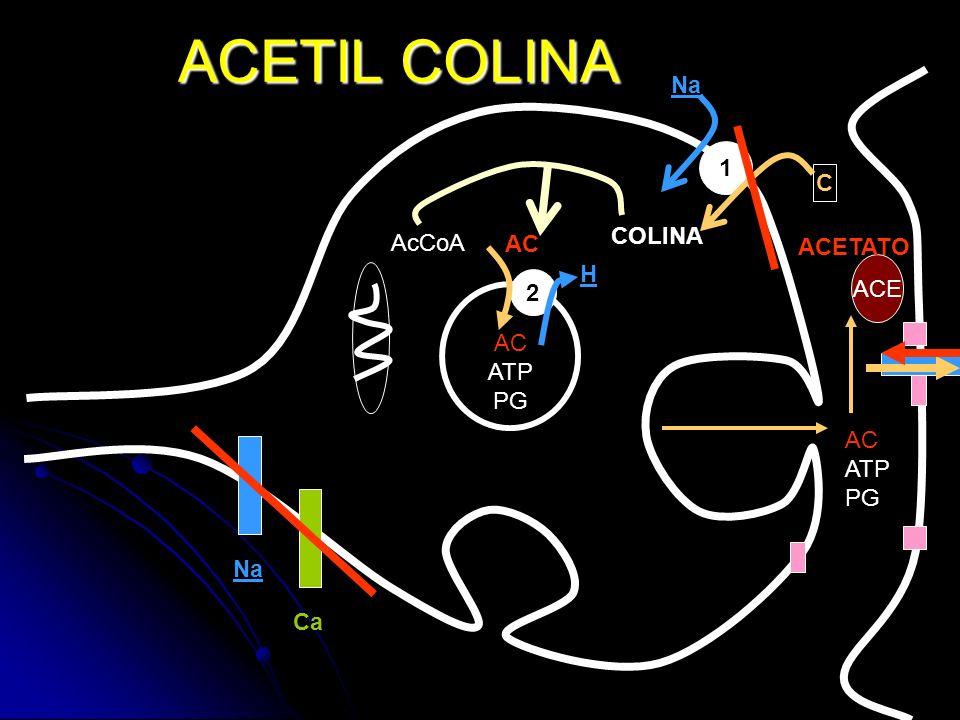 ACETIL COLINA 1 AC ATP PG 2 AC ATP PG ACE C ACETATO Na COLINA AcCoA AC H Na Ca