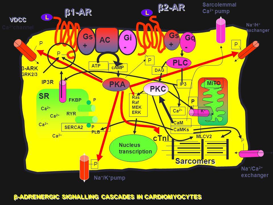 Gs + AC Gi - Gs + Gq - PLC Nucleus transcription PKA PKC β1-AR β2-AR Sarcolemmal Ca 2+ pump Na + /H + exchanger Ca 2+ channel Na + /K + pump Na + /Ca