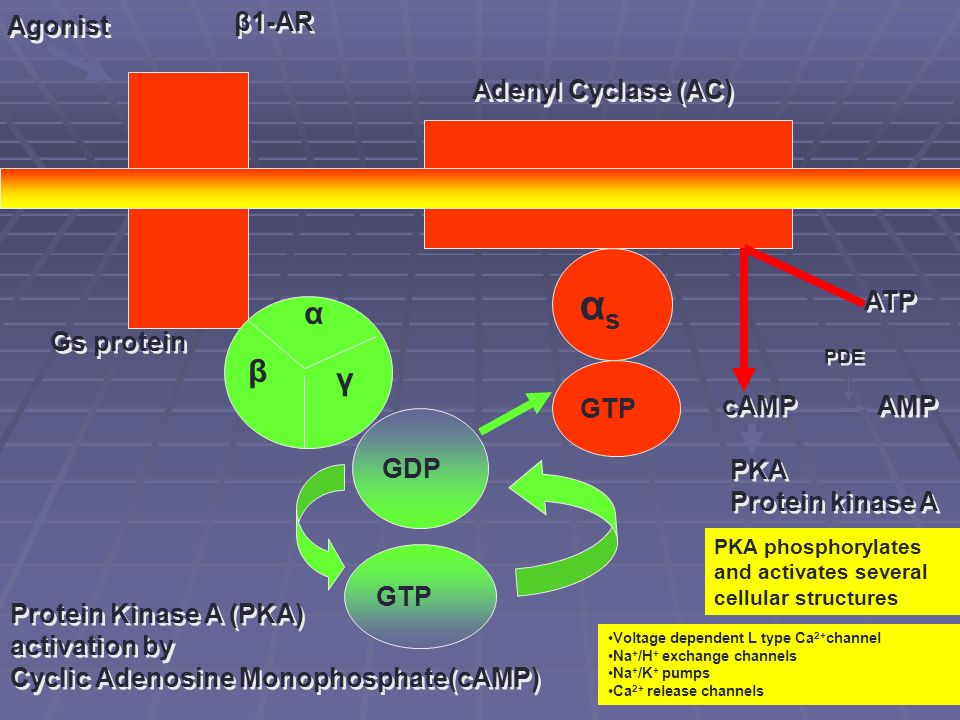 β1-AR Agonist Adenyl Cyclase (AC) Gs protein α β γ GDP GTP αsαs ATP cAMP PKA Protein kinase A PKA Protein kinase A PKA phosphorylates and activates se
