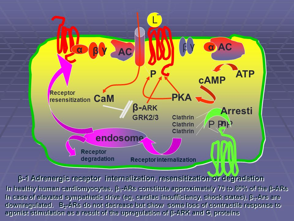 α β γ AC L α β γ ATP cAMP PKA CaM β- ARK GRK2/3 P P P Arresti n Clathrin endosome Receptor internalization Receptor resensitization Receptor degradati