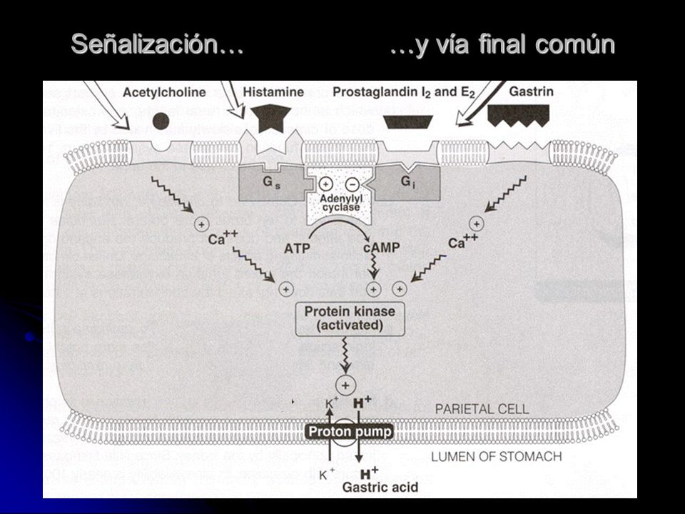 Fisiología de la Secreción gástrica. Gastrina Gastrina Acetilcolina (M 1, M 3) Acetilcolina (M 1, M 3) Histamina (H 2) Histamina (H 2) Bomba de H + -K