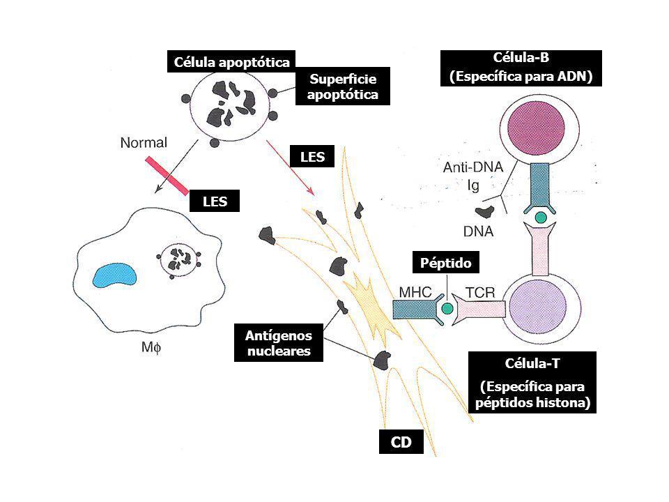 Antígenos nucleares Superficie apoptótica Célula-B (Específica para ADN) Célula apoptótica Péptido LES Célula-T (Específica para péptidos histona) CD
