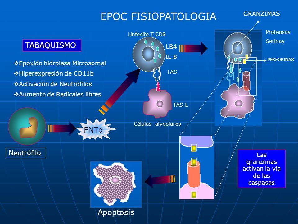 EPOC FISIOPATOLOGIA TABAQUISMO Epoxido hidrolasa Microsomal Hiperexpresión de CD11b Activación de Neutrófilos Aumento de Radicales libres Neutrófilo F