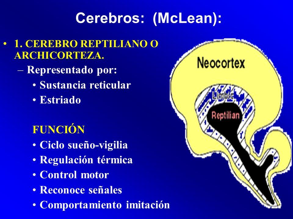 Cerebros: (McLean): 1. CEREBRO REPTILIANO O ARCHICORTEZA. –Representado por: Sustancia reticular Estriado FUNCIÓN: Ciclo sueño-vigilia Regulación térm