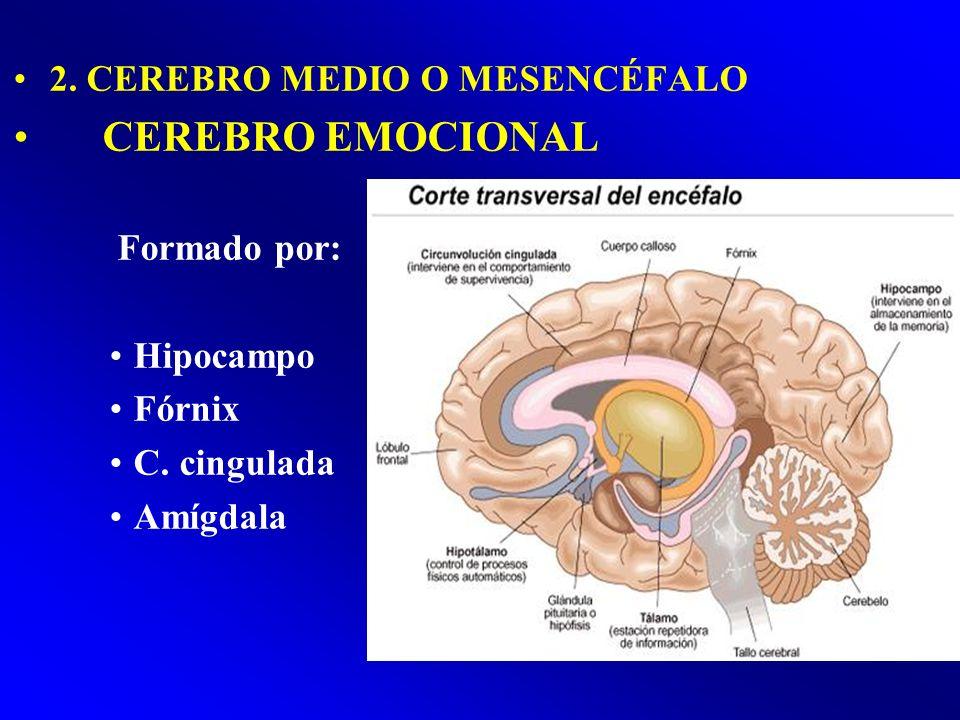 2. CEREBRO MEDIO O MESENCÉFALO CEREBRO EMOCIONAL Formado por: Hipocampo Fórnix C. cingulada Amígdala