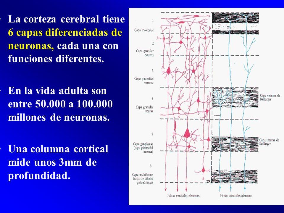 La corteza cerebral tiene 6 capas diferenciadas de neuronas, cada una con funciones diferentes. En la vida adulta son entre 50.000 a 100.000 millones