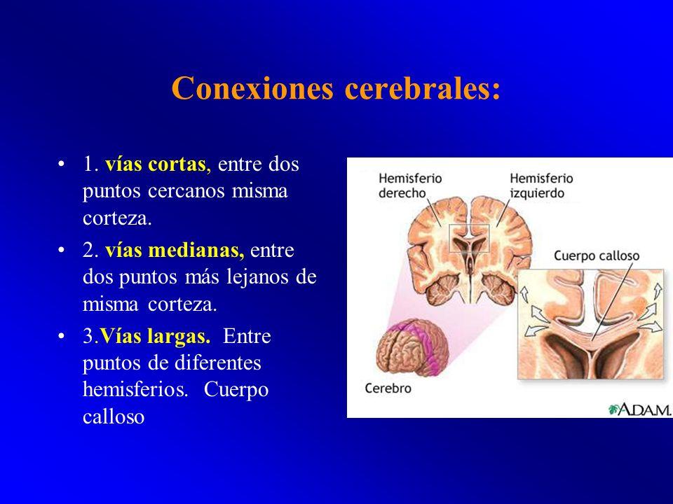 Conexiones cerebrales: 1. vías cortas, entre dos puntos cercanos misma corteza. 2. vías medianas, entre dos puntos más lejanos de misma corteza. 3.Vía