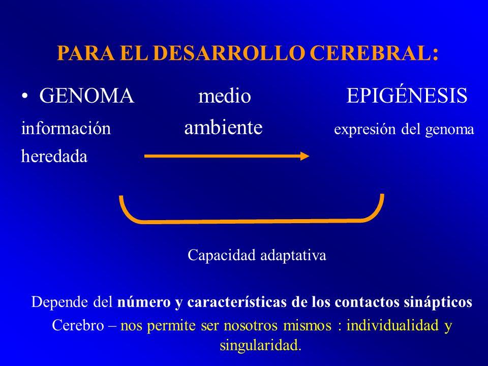 PARA EL DESARROLLO CEREBRAL : GENOMA medio EPIGÉNESIS información ambiente expresión del genoma heredada Capacidad adaptativa Depende del número y car