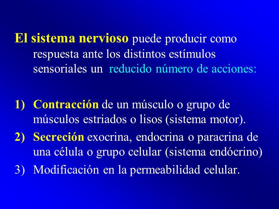 El sistema nervioso puede producir como respuesta ante los distintos estímulos sensoriales un reducido número de acciones: 1)Contracción de un músculo