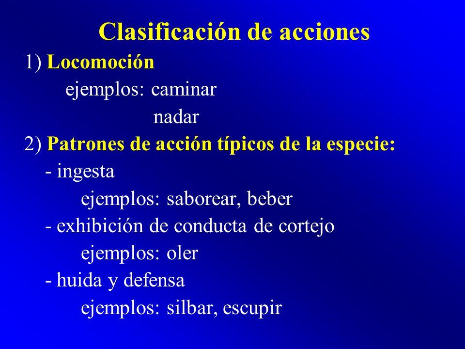 Clasificación de acciones 1) Locomoción ejemplos: caminar nadar 2) Patrones de acción típicos de la especie: - ingesta ejemplos: saborear, beber - exh