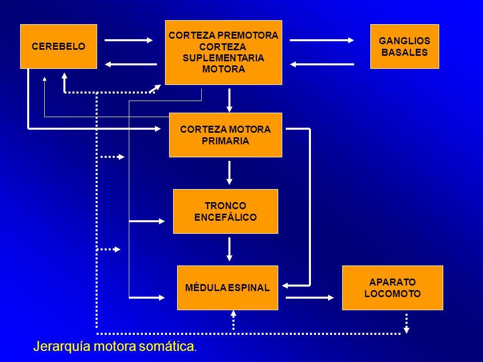 CEREBELO CORTEZA PREMOTORA CORTEZA SUPLEMENTARIA MOTORA CORTEZA MOTORA PRIMARIA GANGLIOS BASALES TRONCO ENCEFÁLICO MÉDULA ESPINAL Jerarquía motora som