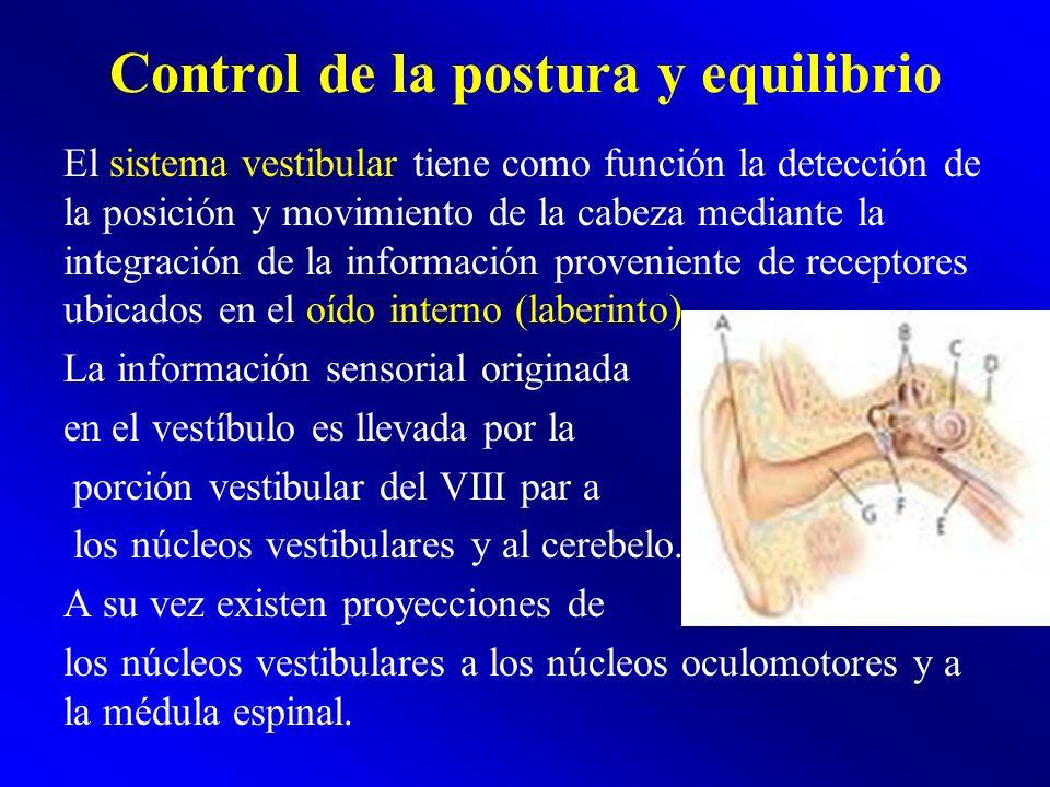 Control de la postura y equilibrio El sistema vestibular tiene como función la detección de la posición y movimiento de la cabeza mediante la integrac