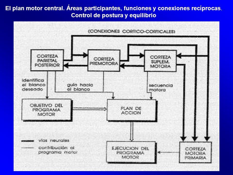 El plan motor central. Áreas participantes, funciones y conexiones recíprocas. Control de postura y equilibrio