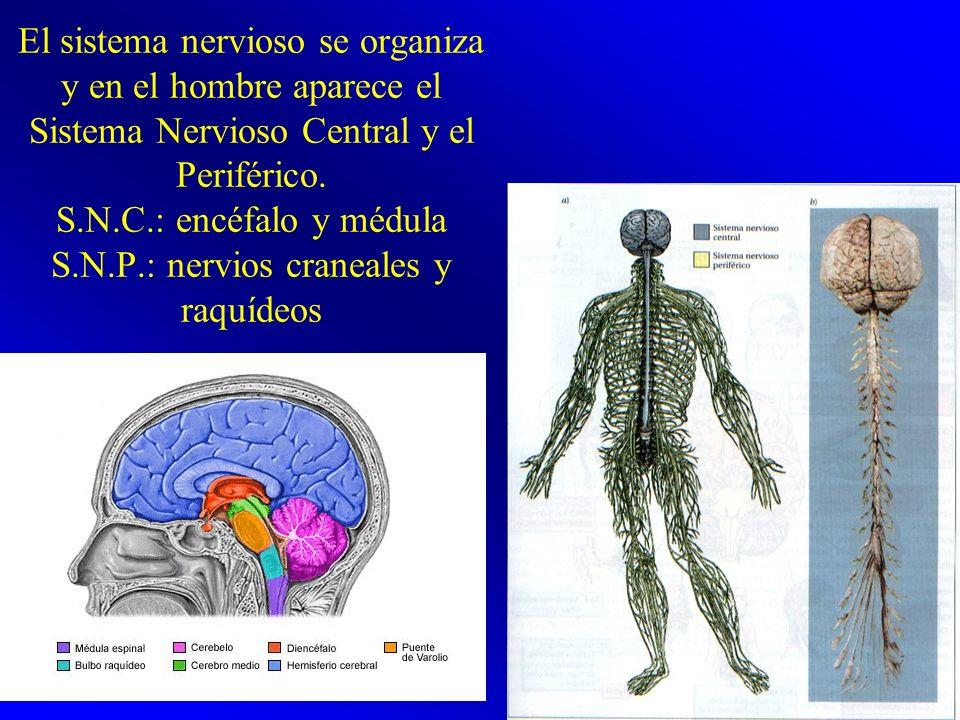 El sistema nervioso se organiza y en el hombre aparece el Sistema Nervioso Central y el Periférico. S.N.C.: encéfalo y médula S.N.P.: nervios craneale