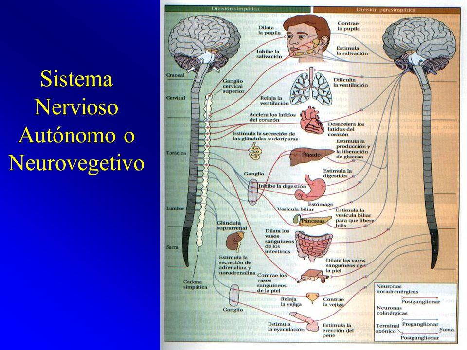 Sistema Nervioso Autónomo o Neurovegetivo