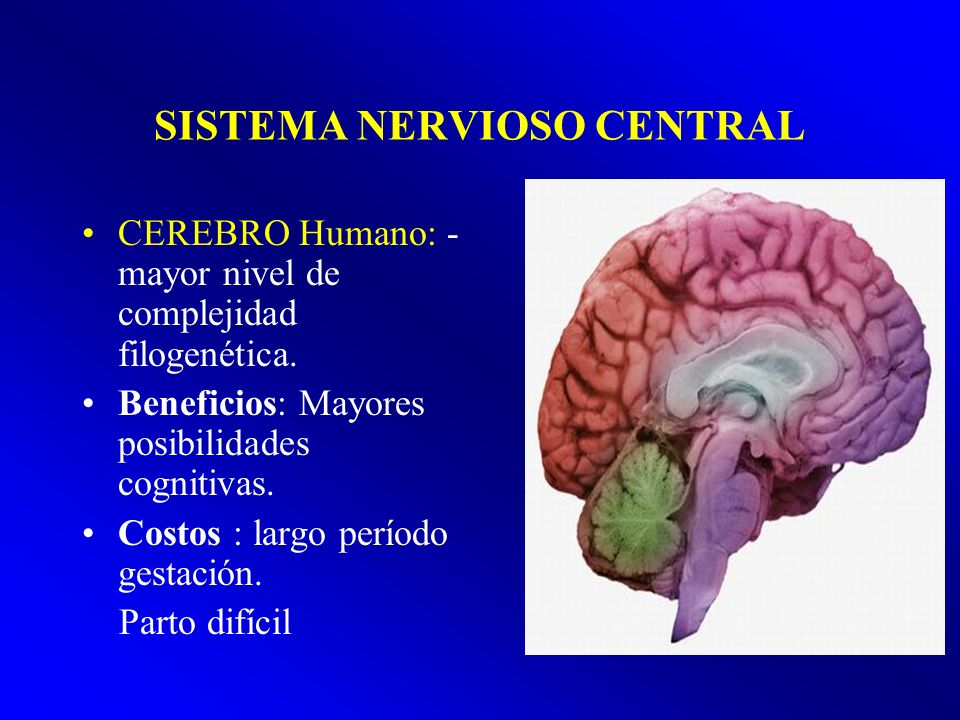 SISTEMA NERVIOSO CENTRAL CEREBRO Humano: - mayor nivel de complejidad filogenética. Beneficios: Mayores posibilidades cognitivas. Costos : largo perío