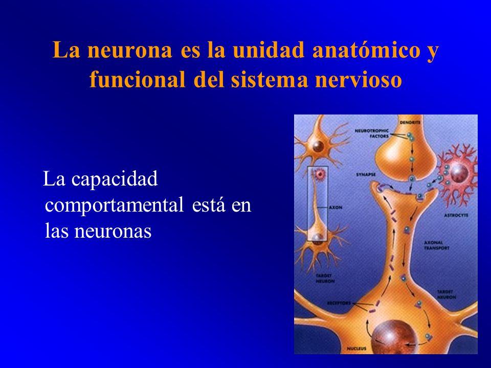 La neurona es la unidad anatómico y funcional del sistema nervioso La capacidad comportamental está en las neuronas