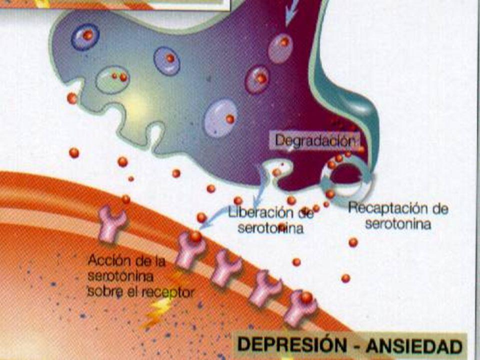 Neurotransmisores de pequeña molécula y sus enzimas bio-sintéticas esenciales TransmisorEnzimaActividad - AcetilcolinaAcetil.tran.ferrasa.Específica - Aminas biógenas DopaminaTirosina hidroxilasaEspecífica Nor - adrenalinaTirosina hidroxilasa yEspecífica dopamina B-hidroxilasa AdrenalinaTirosina hidroxilasa yEspecífica dopamina B- hidroxilasa SerotoninaTriptofano.hidroxilasaEspecífica - Aminoácidos Ácido gaba aminobutírico.