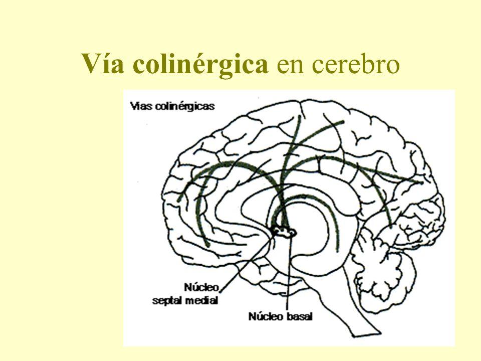 Vía colinérgica en cerebro